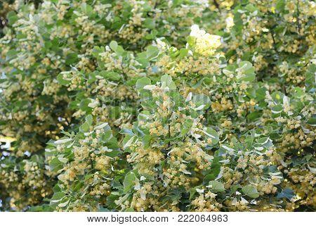 Linden tree blossom. Benefits of Linden Flower Tea.