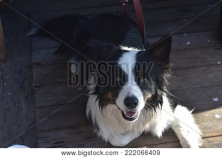 Adorable border collie dog smiling at the camera