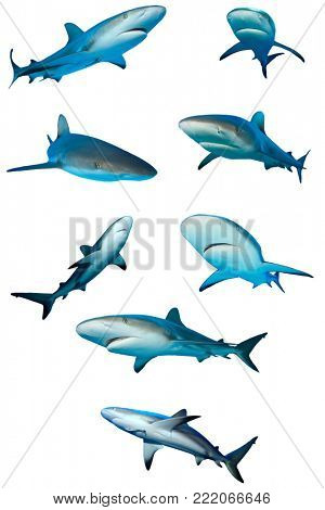 Sharks isolated. Caribbean Reef Sharks on white background