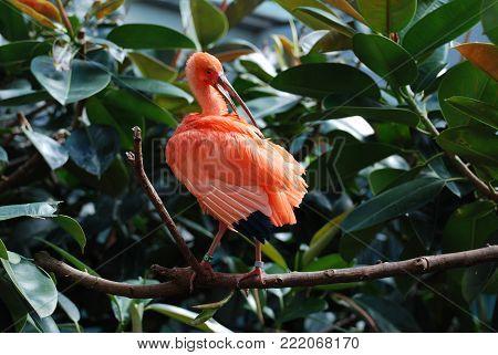 Scarlet ibis bird preening his feathers in the tropics.