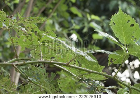 Green Leaves Damaged By Edible Insects On Day.