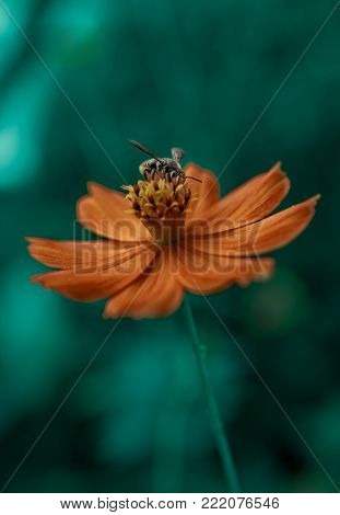 Close-up of a yellow african bee or honeybee pollinated of the orange flower golden honeybee on flower with a green unfocused background