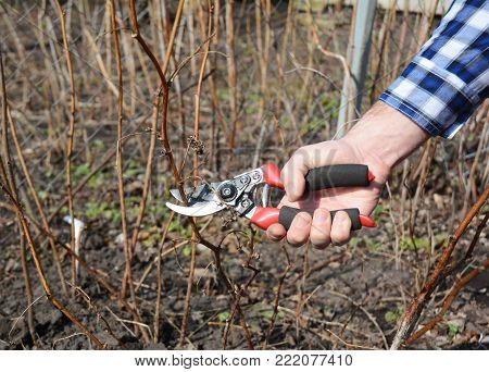 Gardener  cutting  Rubus idaeus (raspberry, also called red raspberry or occasionally as European raspberry) bush.