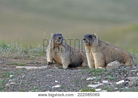closeup big furry marmots in the steppe near the hole
