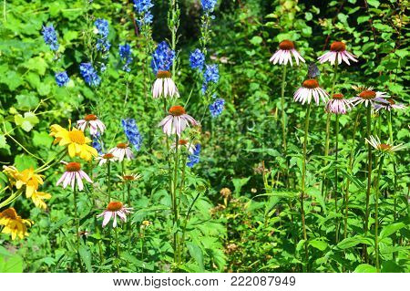 Colorful Purple Coneflowers, Echinacea Flowers in the bee friendly garden flower bed.