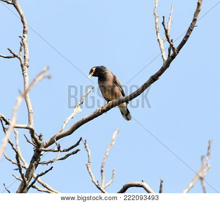 Indian starling on tree . In the park in nature