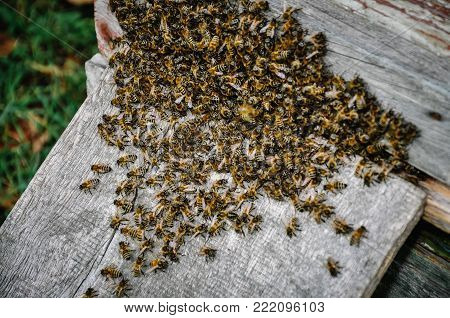 Working bees colony on the on background hive. Texture. Close up. view of the beekeeping and getting honey. Swarm of bee worker sitting on a beehive. Bees are swarming on hive and want to fly.