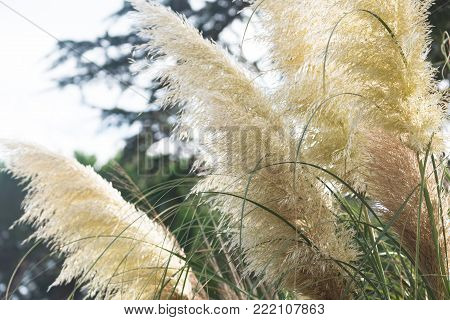 Pampas grass grows in the garden in Spain.