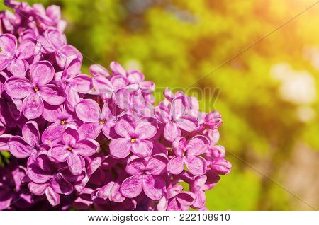 Lilac spring flowers. Spring floral background with lilac flowers in spring blossom. Selective focus at the central lilac flowers. Spring flower background, free space for text. Spring lilac flowers under sunlight