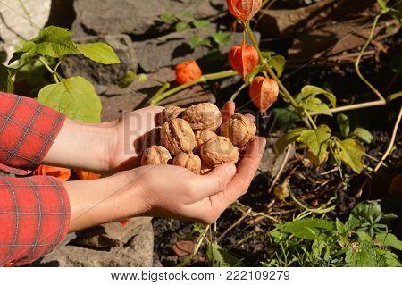 Farmer harvesting walnuts, holding walnuts and husks in her hands. Walnuts harvest.