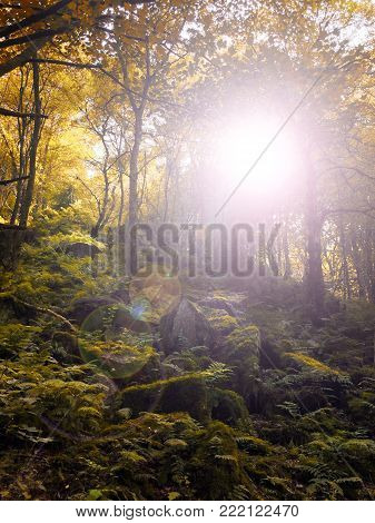 Autumn woodland sun shining though golden forest tress with lens flare and light reflecting on moss covered boulders