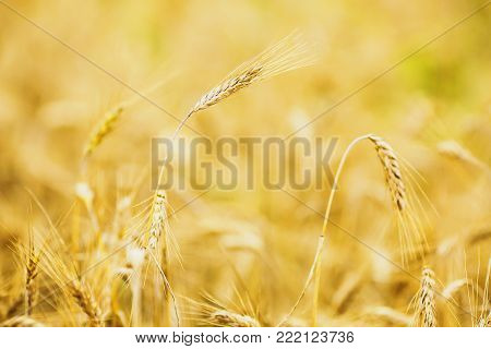 Wheat grows on the field. Autumn field. The crop grows on the field. Field on the farm. A large field in the village. Grow plants on the field