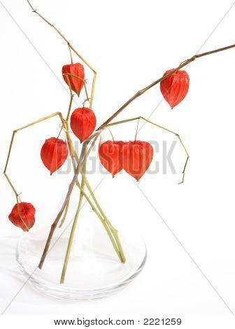 Chinese Lanterns (Physalis)