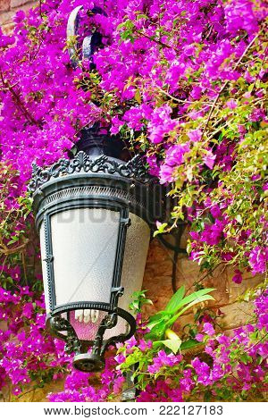 Streetlight in the blossoming bugenvilliya. Close up, selective focus, lilac-pink flowers