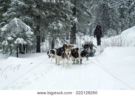 KACHKANAR, RUSSIA - JANUARY 09, 2018: transportation of firewood by dog sledding through the forest by the novices of the Buddhist monastery of Shad Tchup Ling, the only one in the Urals
