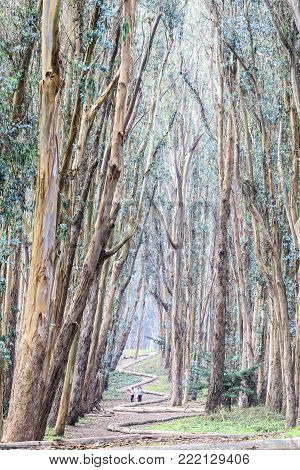 Eucalyptus Grove Wood Line. The Presidio, San Francisco, California, USA.