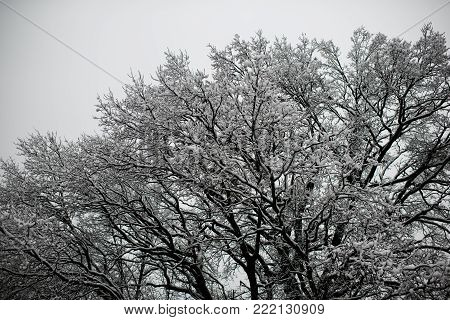 Tree leaves covered with ice on blurred blue sky background. Freezing, cold snap, temperature, snowfall. Late fall or early winter nature. Christmas, xmas, new year, eve, holidays celebration.