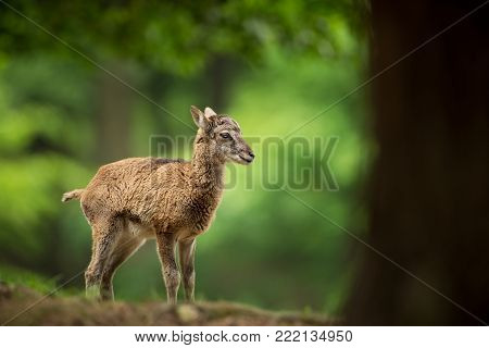 Ovis musimon. Photographed in the Czech Republic. Beautiful nature of the Czech Republic. Beautiful picture. Spring nature. Expanded throughout Europe. From animal life. Europe. Czech Republic. Nature. Animal.