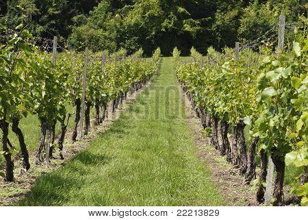 Rows Of Vines In English Vineyard