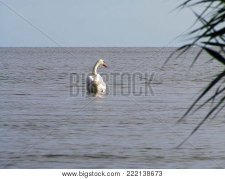 White Swan swims in the vastness of the lagoon