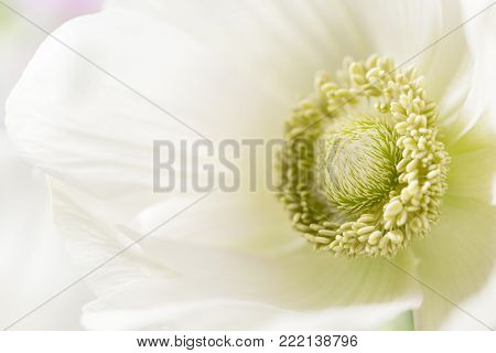 Close-up of a white anemones. Flowers of winter season. Stamens and pistils. Great light background. Macro