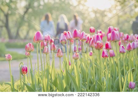 Group of walking happy young girlfriend in park with blooming pink tulips on foreground. Blurred abstract image for spring, summer creative background, pantone fashion colors