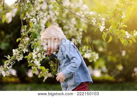 Cute little boy enjoy blooming tree with white flowers in the domestic garden in warm day. Seasonal kid allergy/atopy