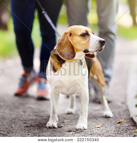 Young couple with Beagle dog wearing in collar and leash walking in the summer park. Family time