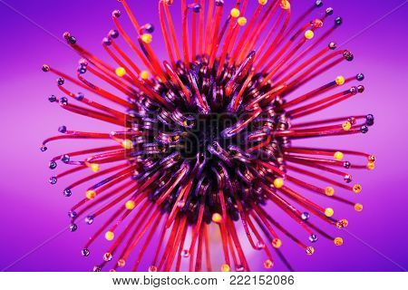 Exotic flower over ultra violet background, macro. Red protea or pincushion flower.