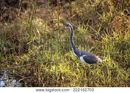 Tricolored Heron Bird Egretta Tricolor