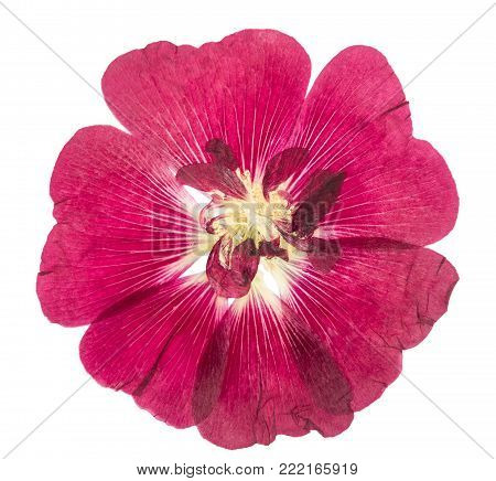 Pressed and dried flower mallow (malva), isolated on white background. For use in scrapbooking, floristry or herbarium.