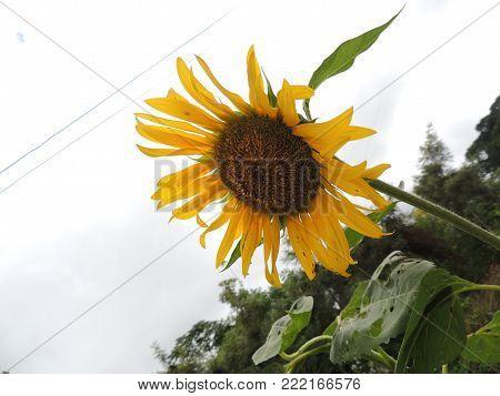 linda flor de girassol encanto de natureza