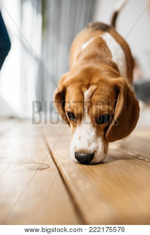 The dog walks along the parquet floor and sniffs the floor