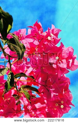 Bougainvillea And Pool - Vertical