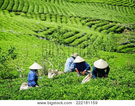 Tea Pickers Collecting Bright Green Tea Leaves On Plantation
