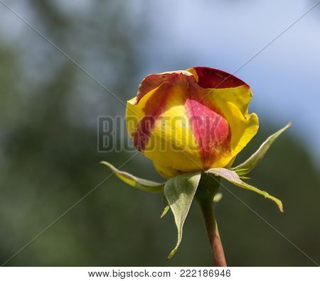 Close up on a red and yellow rose, bud in a garden. Fuzzy background.