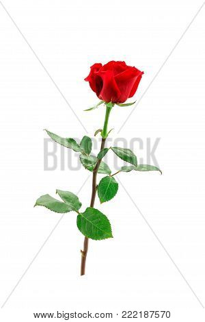 Red rose on a white background. The isolated object. Macroshooting.