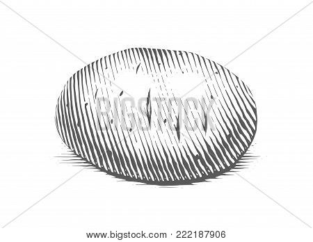 Potato. Engraving style vegetable. Organic vegetarian food. Eps10 vector illustration.