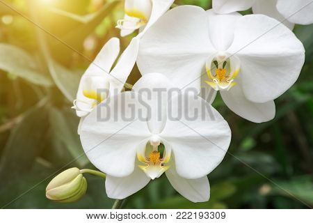 Orchid flower in orchid garden at winter or spring day for postcard beauty and agriculture idea concept design. Phalaenopsis aphrodite Orchidaceae (Moon Orchid, Moth Orchid, The Lovely Phalaenopsis)