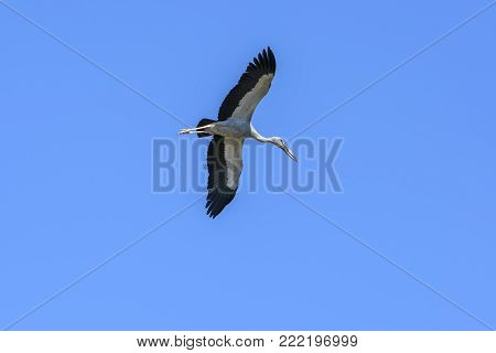 Asian openbill or Asian openbill stork flying in clear blue sky , Chorakhe Mak Reservoir , Buriram , Thailand
