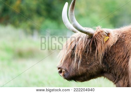 Closeup portrait of beautiful highland scottish wet hairy red cow with big horns. Glasgow, Uk, Scotland. Colored outdoor summertime horizontal image.