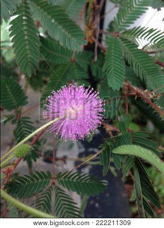 Closeup of Sensitive Plant Flower Mimosa Pudica on the outdoor
