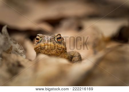 Bufo bufo. Expanded throughout Europe. Asia. Japan. Morocco and Algeria. In Tibet about 3000m. The wild nature of the Czech Republic. Spring nature. From Frog Life. Free nature. European nature. Frog in the woods.