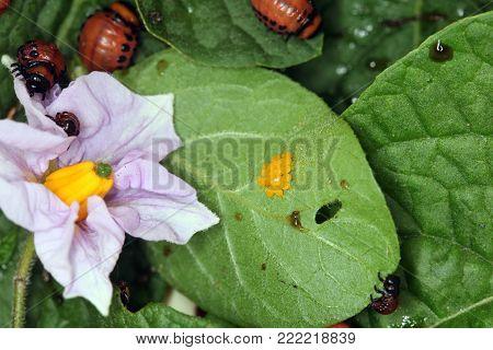 Colorado Potato Beetle Eggs