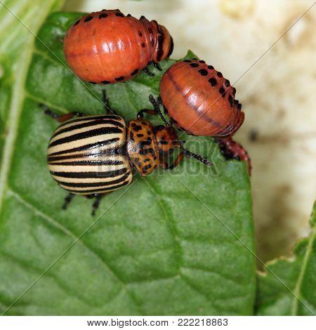 Striped Pests