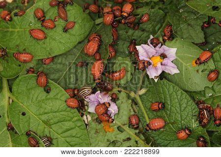 Bunch Of Colorado Beetles And Larvae