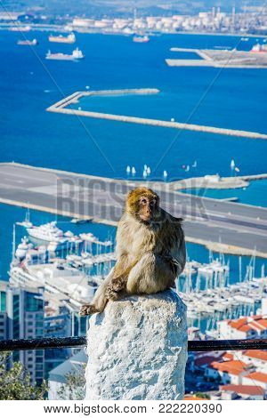 Macaque Monkey Above Gibraltar City