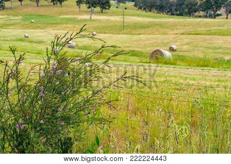 Rural scene landscape with Australian native grass on the foreground and straw bale on the field on the background