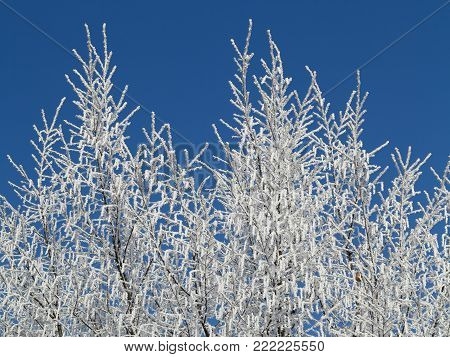 Frosty tree branches in winter day - specific seasonal weather