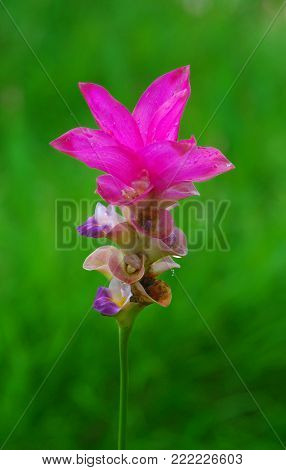close up picture of vivid pink flower, Siam Tulip, on natural background.
